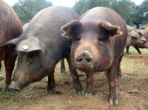 Ibérico pigs produce the finest ham in the world. These pigs live on 'dehesa' in western Spain, gorging on acorns during the autumn montanera harvest. Picture via Creative Commons