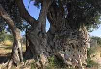 Olivera Grossa, La Ermita. At an astonishing 1,400 years old, it's the oldest olive tree in Alicante province.