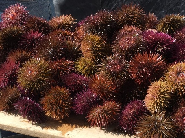 SEA URCHINS ERIZOS DE MAR