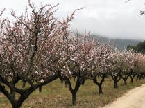 Almond blossom time near Xaló in late February