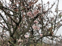 Almonds in blossom; but can they survive the Xylella bacterium?