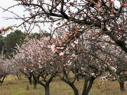 Almond blossom time near the little village of Parcent in Alicante province